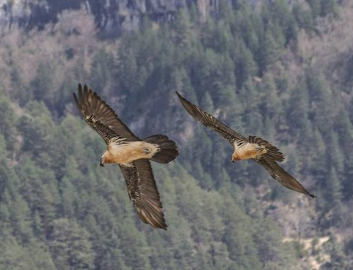 The Picos de Europa National Park sees the birth of its first bearded vulture since the disappearance of the species from the area in the mid-20th Century.