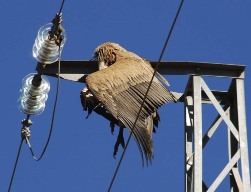 Sugerencias previas al Real Decreto 1432/2008, para la protección de la avifauna contra la colisión y la electrocución en líneas eléctricas.