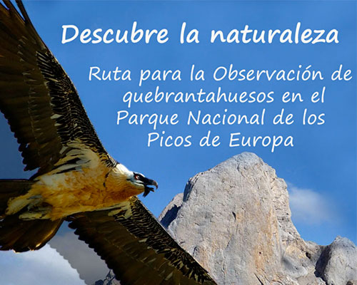 Guided tours of the bearded vulture in Picos de Europa